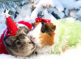Funny Xmas still life with couple of guinea pig