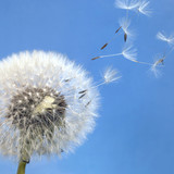dandelion blowball and flying seeds - 36840246
