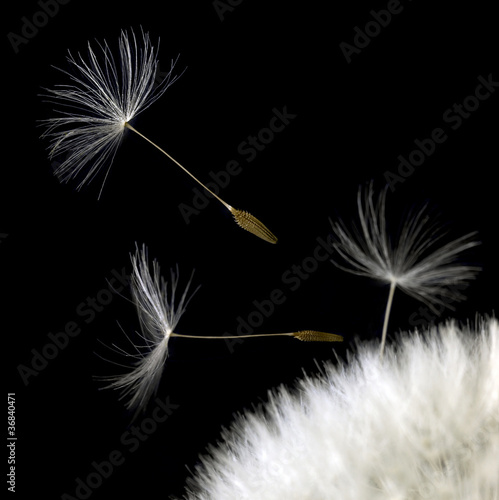 dandelion seeds closeup in black back