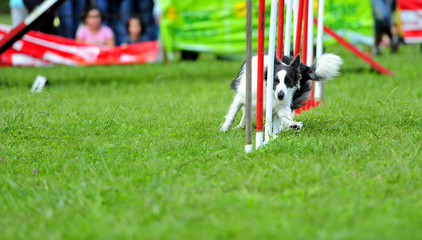 Border collie in Agility competition