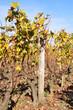 vignes à Sauternes