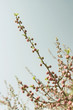spring-buds