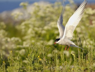 Tern in flight.