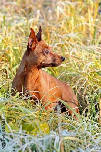 Red Miniature Pinscher