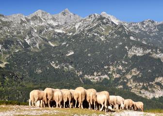 herd of sheep in the Julian Alps - Slovenia, Europe