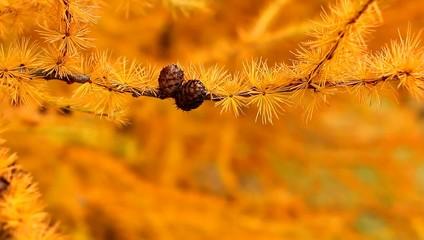 Аномалия - ель с желтыми иголками