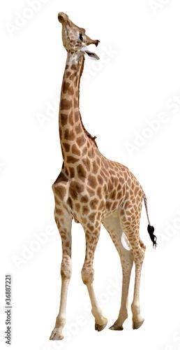 Papiers peints Girafe Isolated giraffe