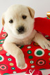 Christmas - cute labrador puppy for Christmas gift