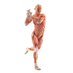 Standing man muscles anatomy system isolated on white background