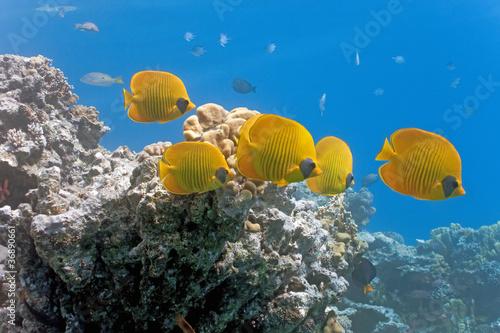 Ławica butterflyfish na rafie