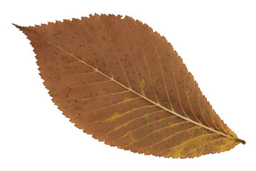 A faded brown autumn leaf
