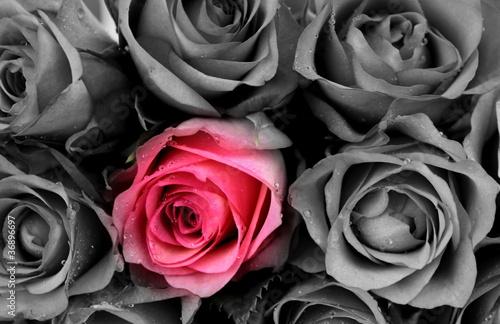 Fototapeta Roses colored and B&W
