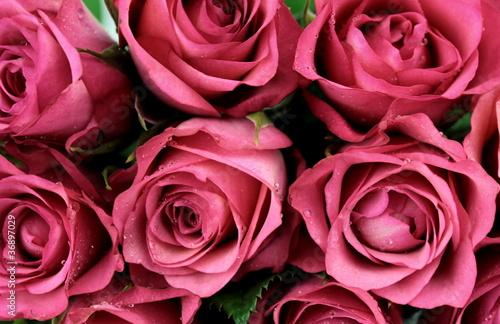 Fototapeta Pink roses - close-up