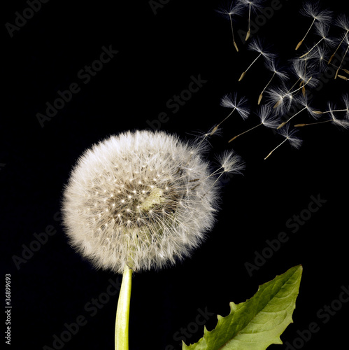 blowball and flying dandelion seeds
