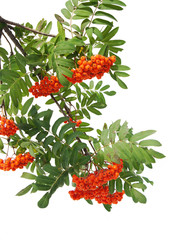 Branches of Mountain ash berries