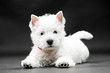 Leinwanddruck Bild - West Highland White Terrier