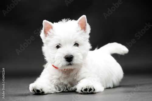 Leinwanddruck Bild West Highland White Terrier