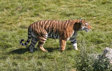 Tiger Stroll