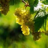White grapes - Fine Art prints
