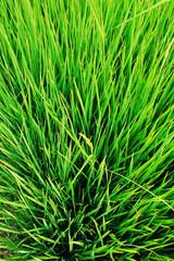closer up a rice field