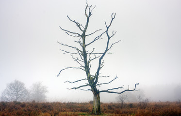 Dead oak tree on a misty heath