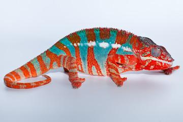Camaleonte Furcifer Pardalis