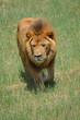 lion on the move
