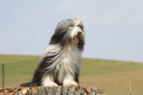 bearded collie poils au vent assis sur un tronc