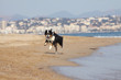 australian shepherd running on the beach