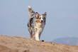 berger australien marchant de face