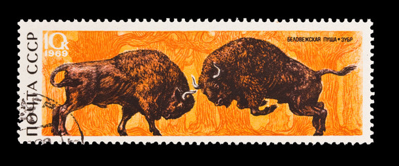 USSR, shows Belovezhsky dense forest, bison,  circa 1969