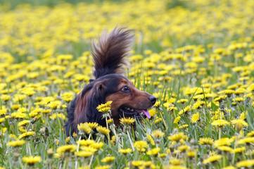 Dachshund on the dandelions meadow