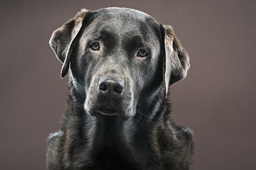 Shot of a Chocolate Labrador against Brown Background