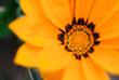 Close up of an orange sunflower