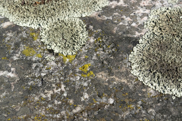 greenish lichen on stony ground