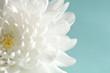 Chrysanthemum on cyan