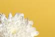 Chrysanthemum on yellow