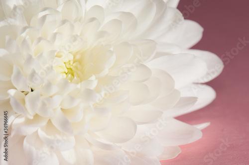 Chrysanthemum on magenta