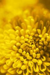 yellow flower bud
