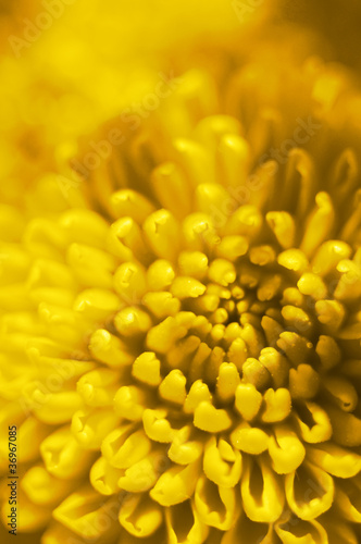yellow flower bud