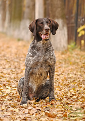 German Shorthaired Pointer (Deutsch Kurzhaar) in Autumn Park