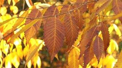 foglie d'autunno gialle