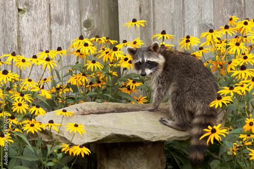 raccon drins from daisy surrounded birdbath