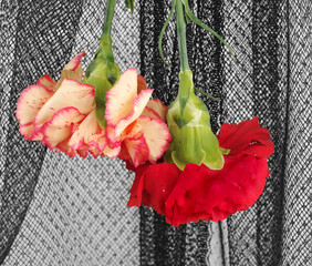 two carnations on black voile