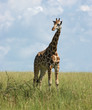 Giraffe in african savannah
