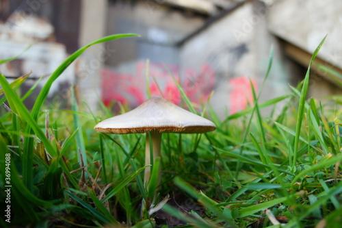 Champignon dans l'herbe
