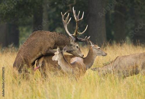 Red deer stag mating a female