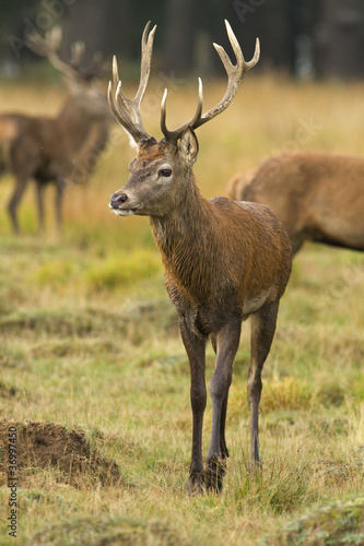 Vertical shot of young red deer stag