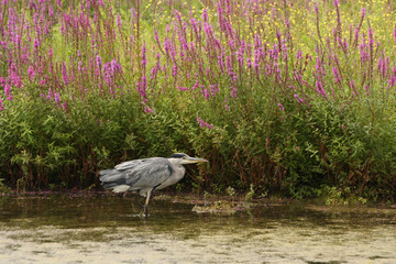 Grey heron in water with purple loosestrife in the background.
