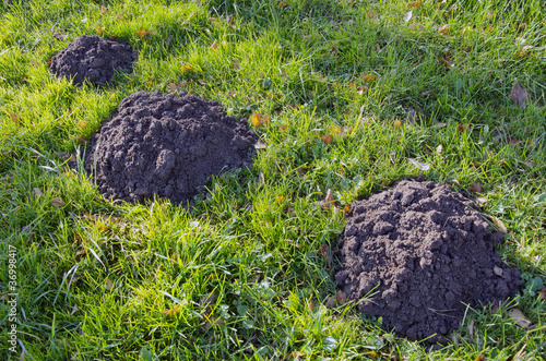 Moles dig mole-hills in meadow. Parasitic animals.